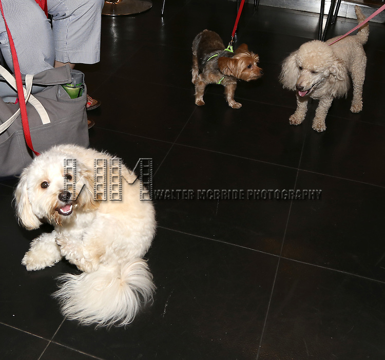 Dog Auditions for a Cameo in Broadway's 'Sylvia' held at the Daryl Roth Theatre on August 3, 2015 in New York City.