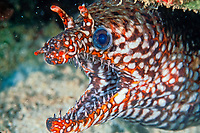 dragon moray eel, Enchelycore pardalis, Midway Atoll, Papahanaumokuakea Marine National Monumen, Northwestern Hawaiian Islands, Papahanaumokuakea Marine National Monument, Hawaii, Pacific Ocean