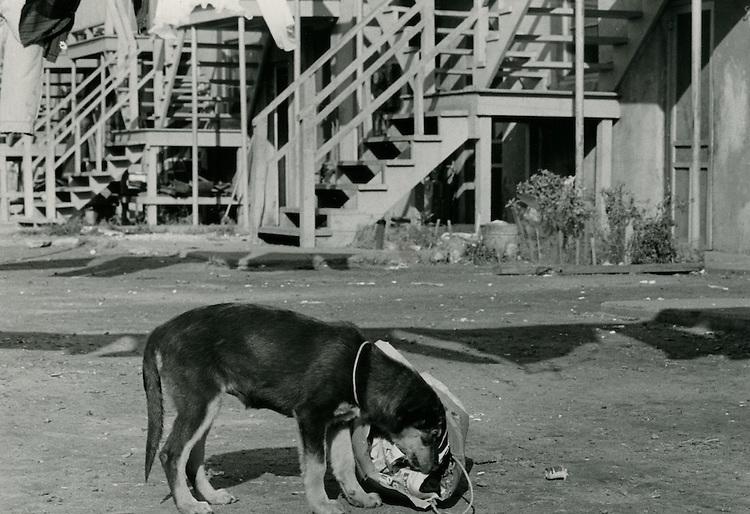 1966 October 27..Historical...Dog rooting in garbage bag on Lavale Street..Sam McKay.NEG# SLM66-10-29.NRHA# 4318..