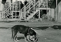 1966 October 27..Historical...Dog rooting in garbage bag on Lavale Street..Sam McKay.NEG# SLM66-10-29.NRHA# 4318..