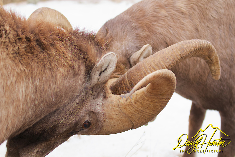 Ramming rams, Bighorn Sheep, Jackson Hole, Wyoming