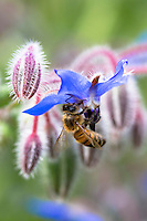 Honey bee, Apis, gathering nectar from Blue Borage, Borago officinalis, in organic garden in Oxfordshire UK