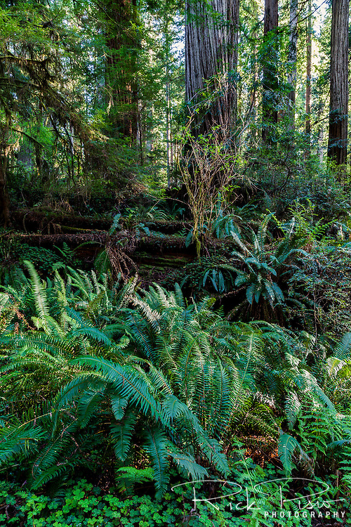 Ferns and a fallen redwood tree at Prairie Creek Redwoods near Orick, California.