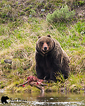 Grizzly bear with elk calf kill. Yellowstone National Park, Wyoming.