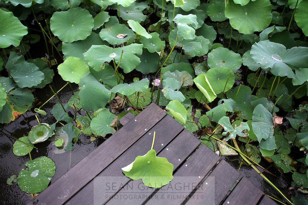 A discarded lily leaf lies on a boardwalk in the Xixi wetlands which lie in the west of the city of Hangzhou. This is China's 'first national wetland park,' dubbed as such to act as a role model to all other wetlands in China and to supposedly show how to effectively manage and restore wetlands, notably urban wetlands. Zhejiang Province. China. 2010