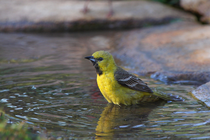 First-year male yellow like female but with black throat patch and occasionally some chestnut feathers on body.
