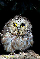 OW02-310z  Saw-whet owl - fluffing feathers up to warn off intruder - Aegolius acadicus