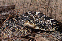 467004003 a captive eastern diamondback rattlesnake crotalus adamanteus lays coiled in striking position and sensing the environment with its tongue - species is native to the southeastern united states