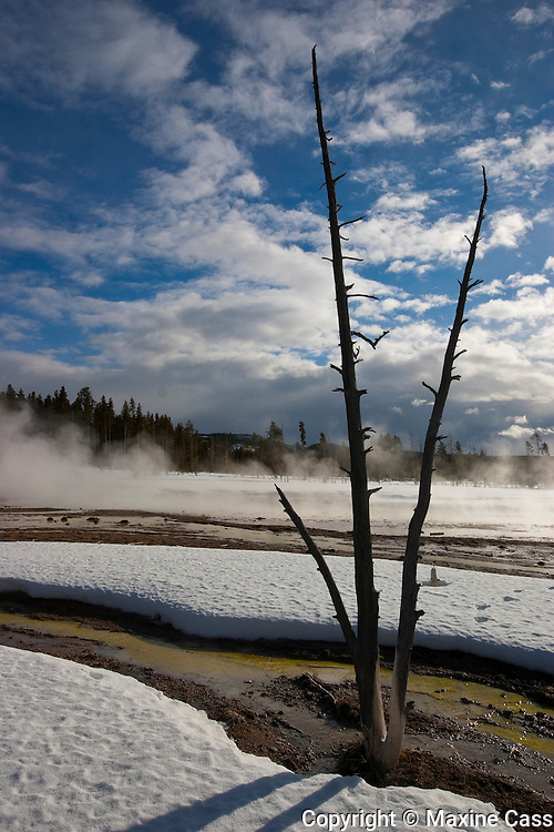 Dramatic sky, geyser steam, and a stark, tri-trunk tree in winter at Fountain Paint Pot, Yellowstone National Park, Wyoming, United States of America