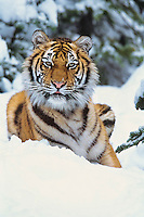 Siberian Tiger or Amur Tiger in snow.