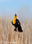Yellow-headed Blackbird (Xanthocephalus xanthocephalus) male in breeding plumage singing, Mono Lake Basin, California, USA