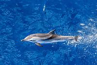striped dolphin, Stenella coeruleoalba, leaping with remora, La Gomera, Canary Islands, Spain, Atlantic Ocean