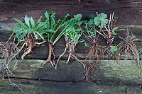 Wurzel-Ernte, Wurzelernte im Herbst, Wurzel, Wurzeln. Root, roots, root stock. Von links nach rechts: Wurzel-Ernte, Wurzelernte im Herbst, Wurzel, Wurzeln. Root, roots, root stock. Baldrian, Echter Baldrian, Echter Arznei-Baldrian, Arzneibaldrian, Katzenwurzel, Baldrianwurzeln, Baldrian-Wurzel, Baldrian-Wurzeln, Valeriana officinalis, Common Valerian, Valériane officinale. Nachtkerze, Nachtkerze-Wurzel, Nachtkerze-Wurzeln, Nachtkerzen-Wurzel, Nachtkerzen-Wurzeln, Nachtkerzenwurzel, Nachtkerzenwurzeln, Oenothera biennis, Common Evening Primrose, Evening-Primrose, Evening star, Sun drop, taproot, Onagre, L'Onagre bisannuelle. Löwenzahn, Löwenzahn-Wurzel, Löwenzahn-Wurzeln, Löwenzahnwurzel, Löwenzahnwurzeln, Wiesen-Löwenzahn, Radix Taraxaci, Taraxaci radix, Gemeiner Löwenzahn, Taraxacum officinale, Taraxacum sect. Ruderalia, Dandelion, Dent de lion. Wegwarte, Wegwarte-Wurzel, Wegwarten-Wurzel, Wegwarte, Zichorie, Cichorium intybus, Chicory, Common chicory, La Chicorée sauvage, Chicorée amère, Chicorée commune, Chicorée intybe. Nelkenwurz, Nelkenwurz-Wurzel, Nelkenwurz-Wurzeln, Echte Nelkenwurz, Geum urbanum, wood avens, herb Bennet, colewort, St. Benedict's herb, La benoîte commune, benoite commune. Seifenkraut, Echtes Seifenkraut, Seifenwurz, Waschwurz, Seifenkrautwurzel, Seifenkraut-Wurzel, Seifenkrautwurzeln, Seifenkraut-Wurzeln, Saponariae rubrae radix, Radix saponariae, Saponaria officinalis, common soapwort, bouncing-bet, crow soap, wild sweet William, soapweed, La saponaire officinale. Beifuß, Beifuß-Wurzel, Beifuß-Wurzeln, Beifuss-Wurzel, Beifuss-Wurzeln, Gewöhnlicher Beifuß, Beifuss, Artemisia vulgaris, Mugwort, common wormwood, wild wormwood, wormwood
