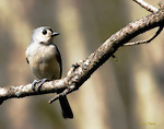A Tufted Titmouse rests on a branch. Ortonized for a dreamlike appearance.