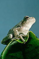 Gray tree frog, hyla versicolor, on leaf perched and looking up hopefully