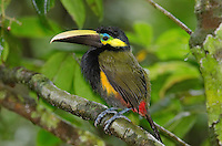 Yellow-eared Toucanet (Selenidera spectabilas) Male Arenal Costa Rica