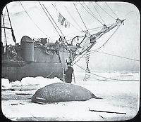 BNPS.co.uk (01202 558833)<br /> Pic: PenzanceAuctions/BNPS<br /> <br /> The crew hunted Walrus for food and fuel.<br /> <br /> Incredibly rare glass slides depicting the British expedition to the North Pole in 1875 have been found 140 years later.<br /> <br /> The remarkable images from the early days of photography depict the brave men and their Inuit guides who endured sub-zero temperatures to try to become the first to reach the pole in 1875.<br /> <br /> Photographers Thomas Mitchell and George White went on the failed expedition and now 42 of their glass slides have been found in a box during a house clearance in Cornwall.