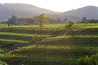 Italy, Collio. Wine.