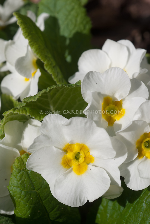 Primula vulgaris primroses in spring bloom, white flowers