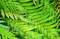 Bracken Fern, Washington