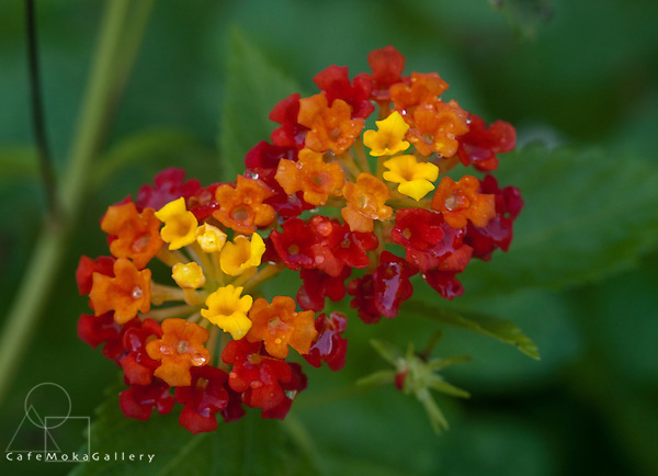 Trinidad Flora, red, yellow and orange flowers of a lantana camara