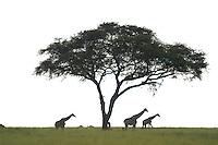 Wildlife from Murchison Falls National Park, Uganda, the Rocky Mountains, California, Florida, South America and India. Photos include birds, Ugandan kob, elephants, hippopotamus, hippos, giraffes, mountain goats, monkeys, a humpback whale near Gustavus, Alaska, and an Admiralty Island grizzly bear.