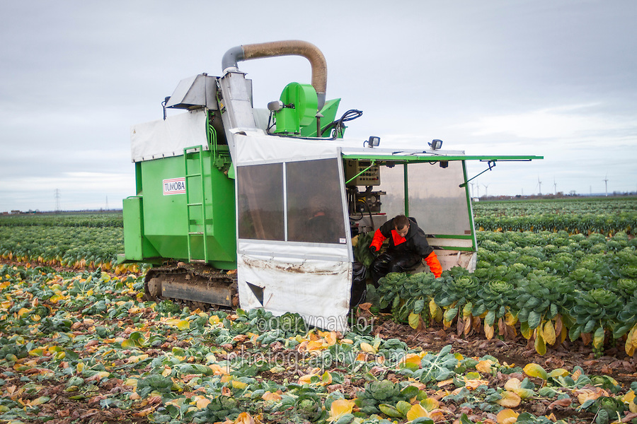 Harvesting brussles sprouts with a two row Tomoba harvester - December, Lincolnshire