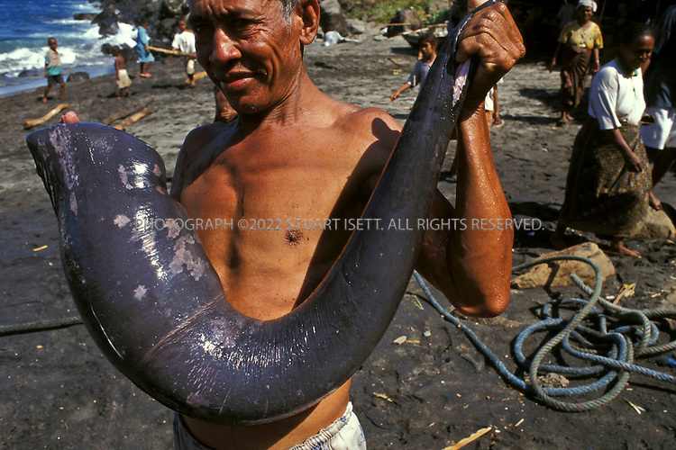 Lamalera, Indonesia..A whaler holds up the sperm whale's penis on the beach at Lamalera. The penis is prized by whalers and it is usually given to the owner of the boat that killed the whale...Photograph by Stuart Isett.©2003 Stuart Isett
