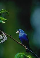 Blue Grossbeak.