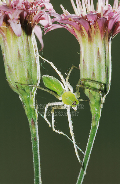 Green Lynx Spider, Peucetia viridans, adult on Rose Palafoxia (Palafoxia rosea) , Lake Corpus Christi, Texas, USA