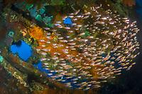 Swarm of Glassfish Parambassis ranga, Liberty Wreck, Tulamben, Bali, Indo-Pacific, Indonesia