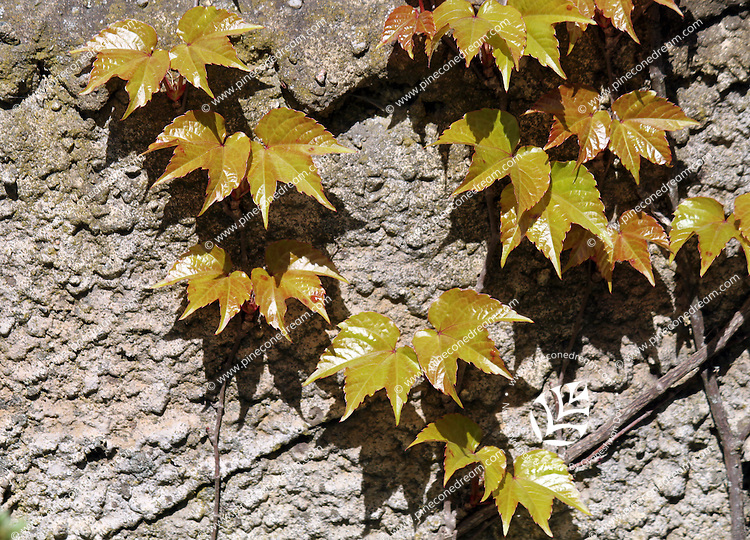 Maple leaves and their shadows grown on vine extending on rough wall, stock image.