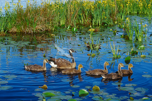 Canadian Goose Family (Branta canadensis) on pond with yellow iris.  Pacific NW.  June.
