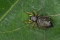 Kupfrige Sonnenspringspinne, Sonnen-Springspinne, Springspinne, Heliophanus cupreus, Springspinnen, Jumping spider, Hüpfspinnen, Salticidae, jumping spiders
