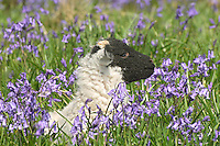 Swaledale lamb in  Bluebells, Dunsop Bridge, Lancashire.