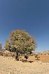 Samaria, Mediterranean Hackberry (Celtis australis) in Yanun