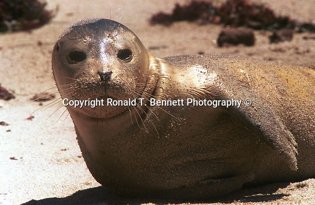 California seal at La Jolla, California, sea lion, seals, otariid, pinnipeds, wing foot, feather foot, seals, marine mammals, flippers, disambiguation, otaruudaem, blubber, carnivores,  Fine Art Photography, Ronald T. Bennett (c), Fine Art Photography by Ron Bennett, Fine Art, Fine Art photography, Art Photography, Copyright RonBennettPhotography.com ©