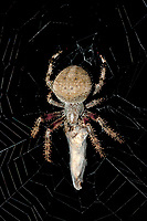 370000034 a wild female orbweaver spider araneaus ssp. sits on her web sealing up prey in spider silk at night in los angles county california