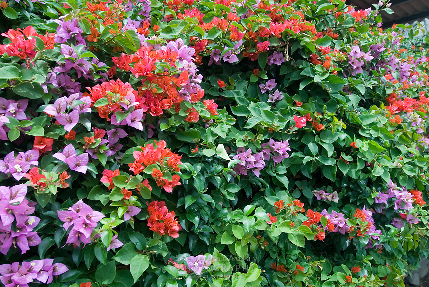 Bougainvillea flowers, Boquete, Panama
