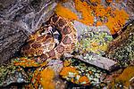 Western rattlesnake, Columbia Plateau, Washington