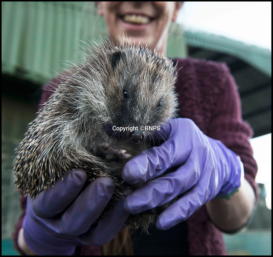 BNPS.co.uk (01202 558833)<br /> Pic: LeeMcLean/BNPS<br /> <br /> Wiltshire Wildlife Hospital near Salisbury have had nearly 300 hoglet admissions.<br /> <br /> Hogletarian crisis...Rescue centres across Britain are being overwhelmed by thousands of juvenile hedgehogs this winter - with some being forced to close their doors to new admission's due to a lack of food and blankets to look after them.<br /> <br /> Thousands of hoglets are being admitted to animal sanctuaries because they were born during the mild autumn but have not had enough time to put on weight for winter hibernation.<br /> <br /> But the centres, most of which rely on donations to provide their service, are struggling to cope with the huge numbers coming in.<br /> <br /> Many are appealing for extra donations to take up the strain of caring for so many hedgehogs, with some saying they will be forced to close if they don't get more funding urgently.