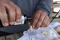 NWA Democrat-Gazette/FLIP PUTTHOFF <br /> Rojas adds imitation vanilla extract to a piece of bread for bait.
