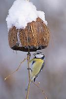 Blaumeise, an der Vogelfütterung, Fütterung im Winter bei Schnee, an mit Fettfutter gefüllten Hälfte einer Kokosnuss, selbstgemachtes Vogelfutter, Winterfütterung, Blau-Meise, Meise, Cyanistes caeruleus, Parus caeruleus, blue tit
