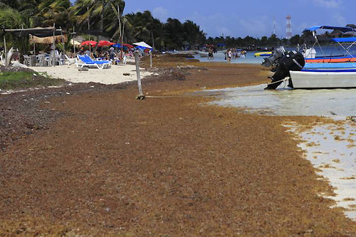 Sargazo en Quintana Roo, México.