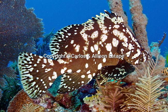 Dermatolepis inermis, Marbled grouper, Florida Keys
