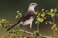 Northern Mockingbird, Mimus polyglottos, adult on Desert Hackberry (Celtis pallida), Willacy County, Rio Grande Valley, Texas, USA