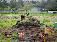 Chickens working a compost pile at Singing Frogs Farm;