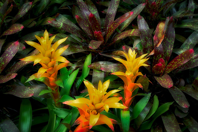 Orange Bromeliads. Hawaii Tropical Botanical Gardens, The Big Island, Hawaii