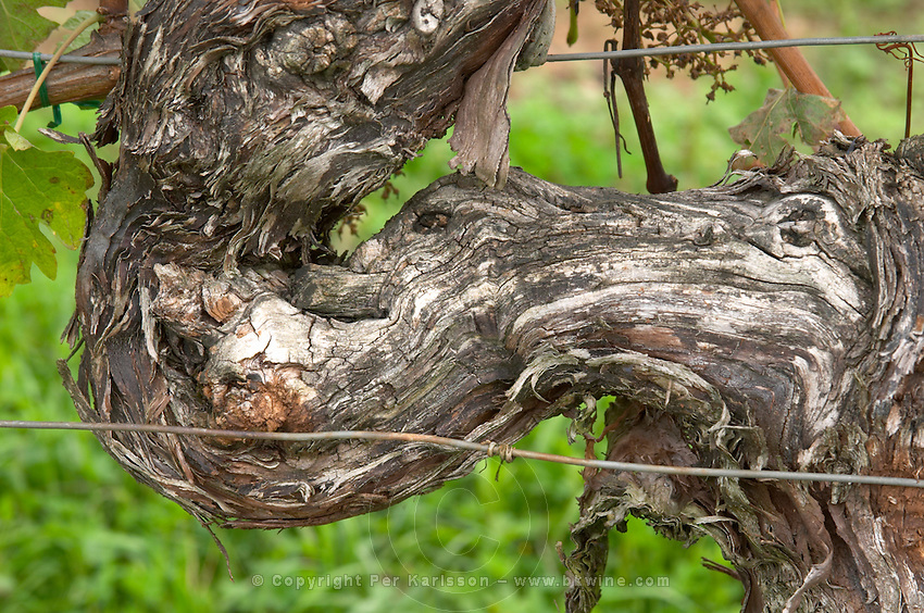 Old vine. Detail. Detail. Chateau de Haux, Bordeaux, France