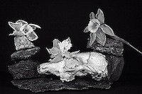 Still life with opossum skull, granite, and dead daffodils